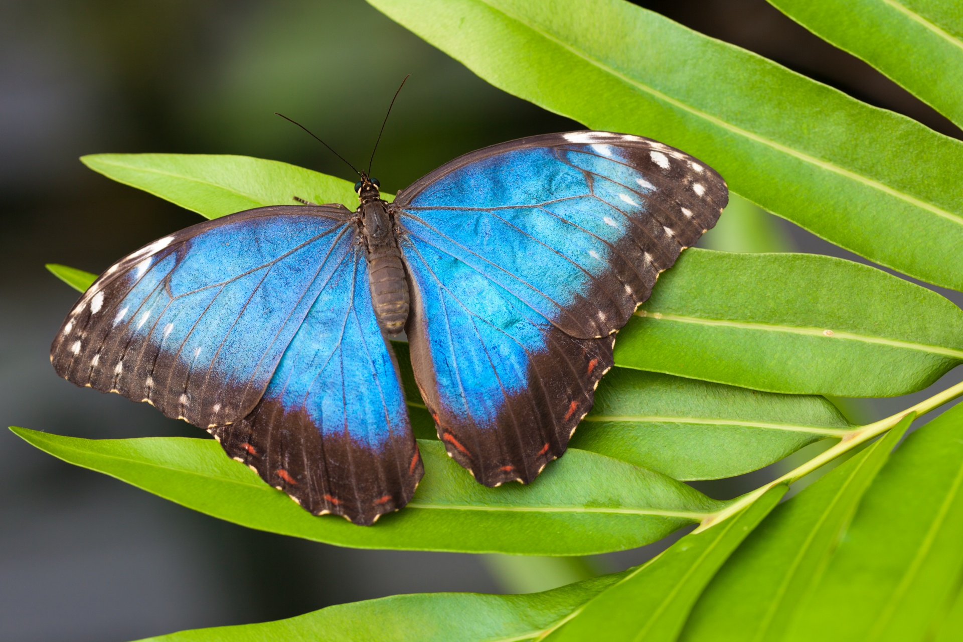 morpho-butterfly-1452254349NBZ
