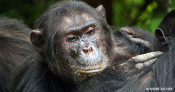 From Top to Bottom, Chimpanzee Social Hierarchy is Amazing!