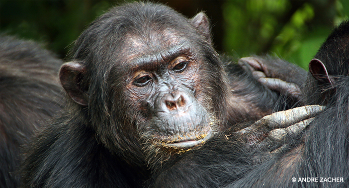 From Top to Bottom, Chimpanzee Social Hierachy is Amazing!