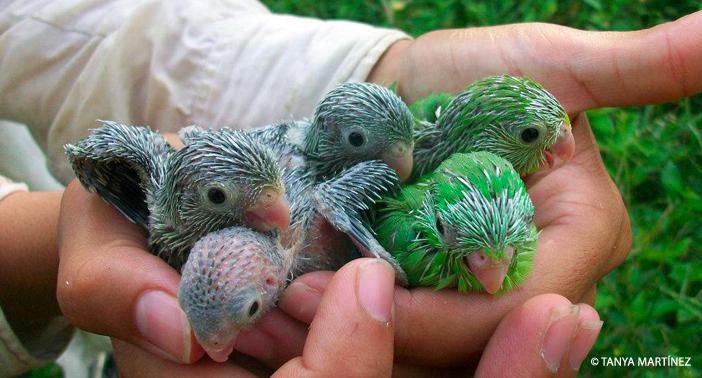 Baby Parrots WM CR