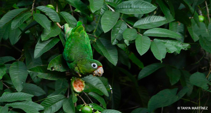 Parrot Eating WM CR