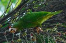 Parrot Sticks WM CR