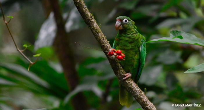 Parrot WM CR