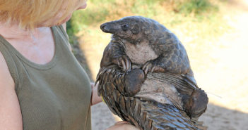 A Lucky Day: World Pangolin Day!