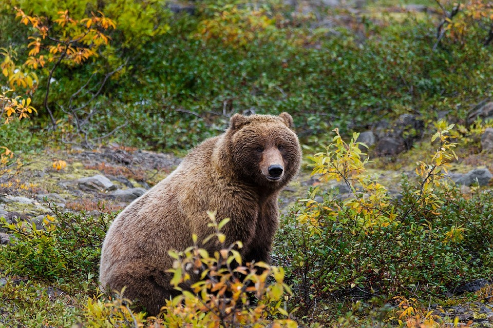 Carnivore Nature Wild Alaska Wildlife Grizzly Bear