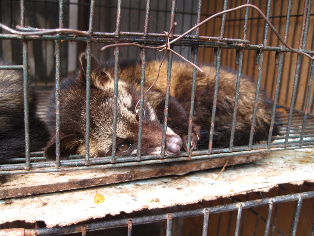 Luwak_(civet_cat)_in_cage