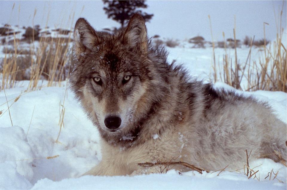 wolf-518209_960_720