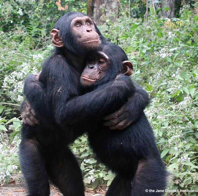 Orphans Kudia and Ultimo hug each other at the JGI Tchimpounga Chimpanzee Rehabilitation Center in the Republic of Congo