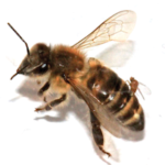 Female_Apocephalus_borealis_ovipositing_into_the_abdomen_of_a_worker_honey_bee