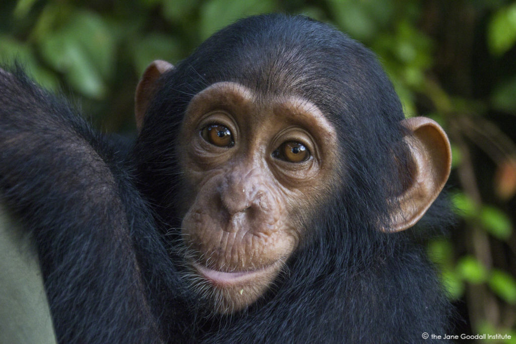 Falero, a new arrival at the JGI Tchimpounga Chimpanzee Rehabilitation Center