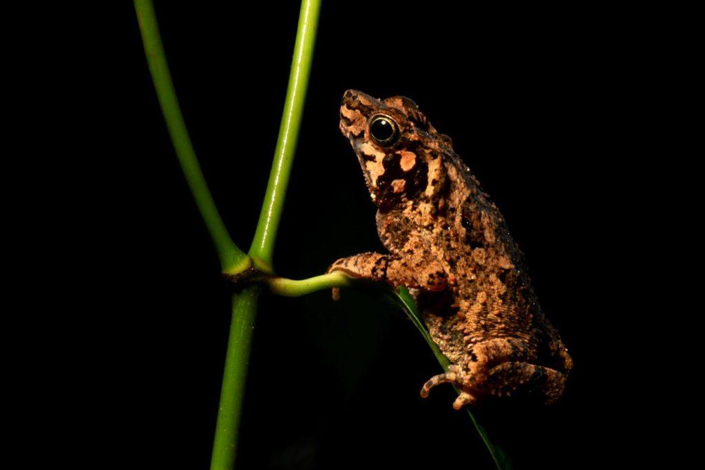 frog yasuni