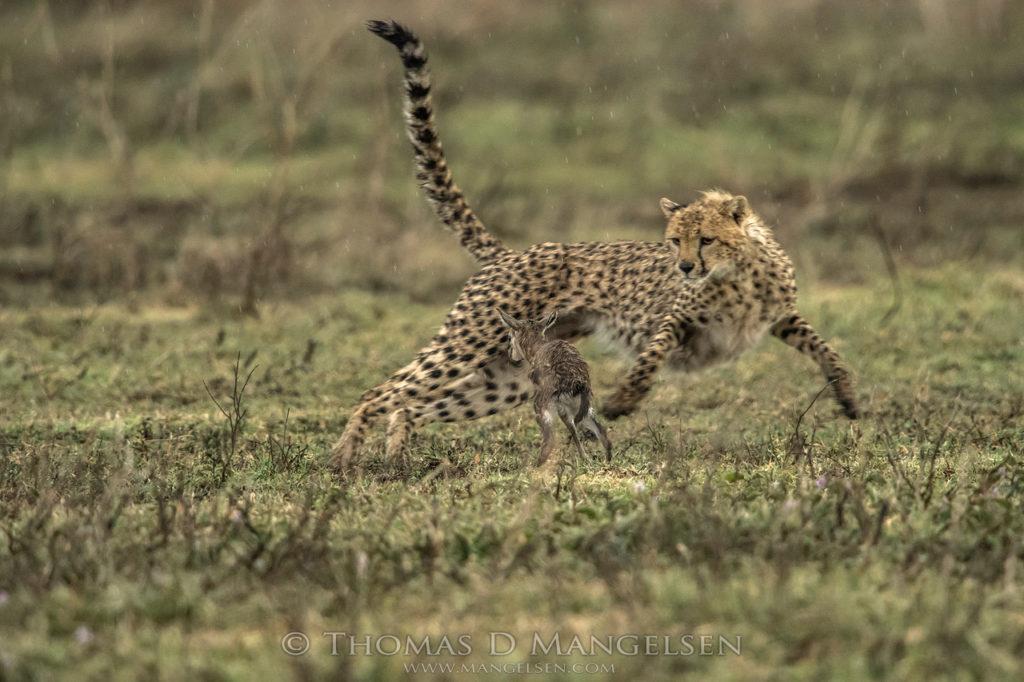 gazelle-imprints-on-cheetah
