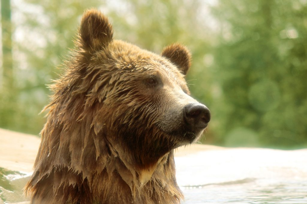 grizzly-bear-portrait