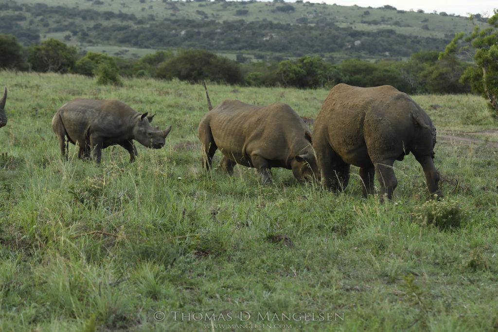mama-rhino-shows-bull-who-is-boss