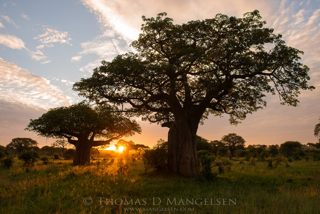 Baobab trees are silhouetted at sunrise in Tarangire National Park, Tanzania.