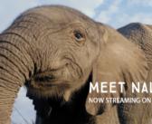 A Star is Born in 'Naledi: A Baby Elephant's Tale'