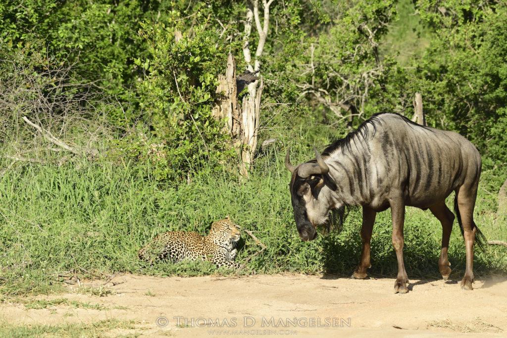 wilderbeest-nearly-trips-over-leopard