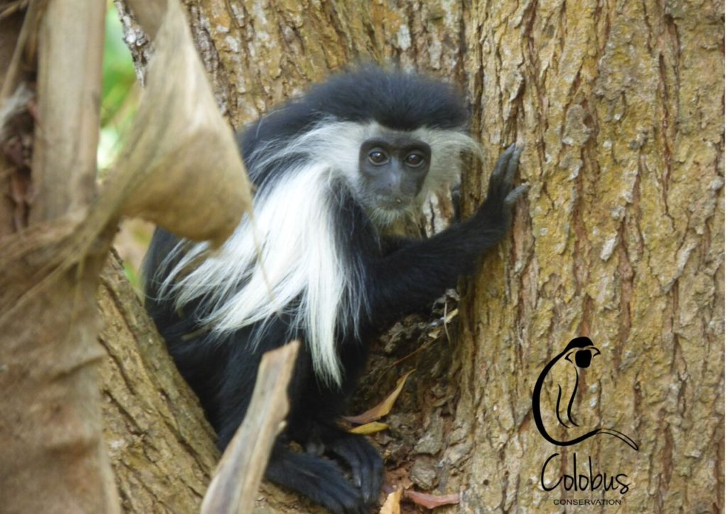 A young Angolan Colobus residing at Colobus Conservation in Kenya, a PASA member that rescues monkey species such as baboons, sykes and vervets.
