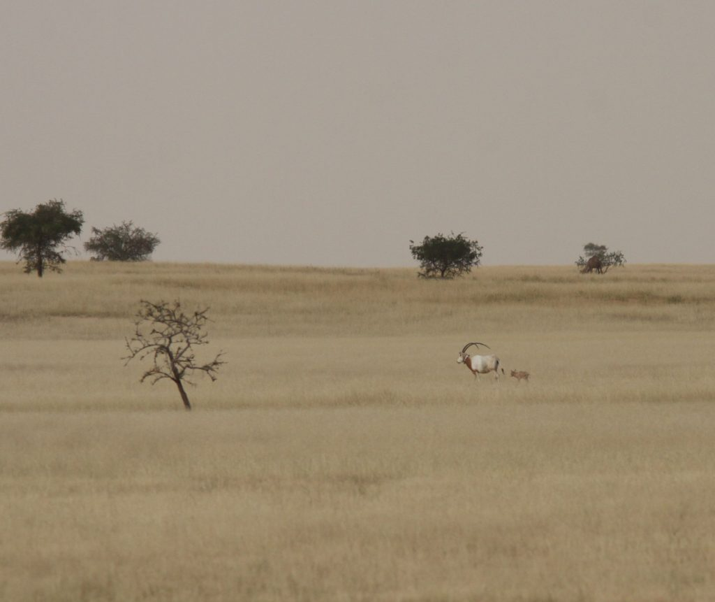 2 days old Scimitar-horned Oryx calf with his mother in Chad[1]
