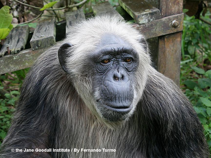 La Vielle at the JGI Tchimpounga Chimpanzee Rehabilitation Center