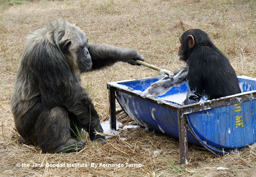 LaVielle plays with baby Mokolo at the JGI Tchimpounga Chimpanzee Rehabilitation Center