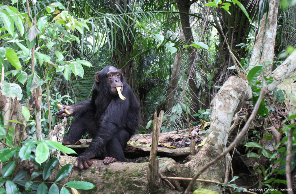 Chimp Luc on Tchindzoulou Island.