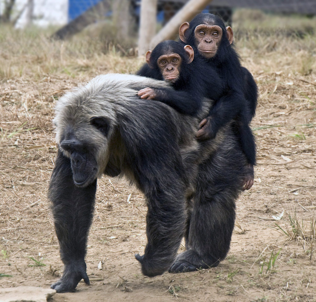 LaVielle plays with orphan babies at the JGI Tchimpounga Chimpanzee Rehabilitation Center