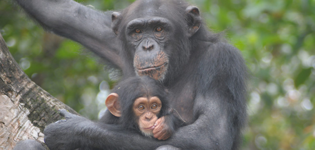 the role of mothers in the chimpanzee society