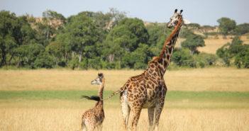 Giraffe 702
