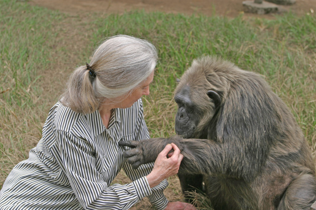 Dr. Jane Goodall with chimpanzee Lavielle at Tchimpounga Sanctuary in Pointe Noire, Congo.