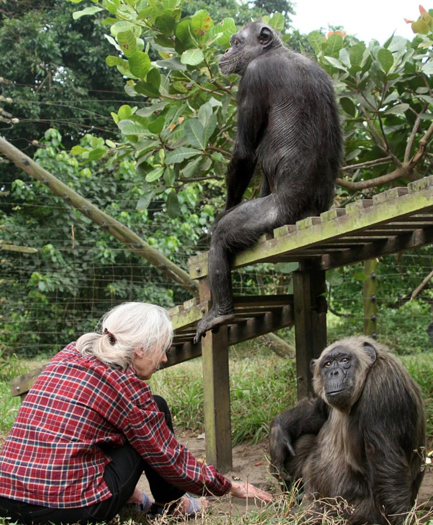 Jane Goodall with Gregoire and LaVielle at the JGI Tchimpounga Chimpanzee Rehabilitation Center.