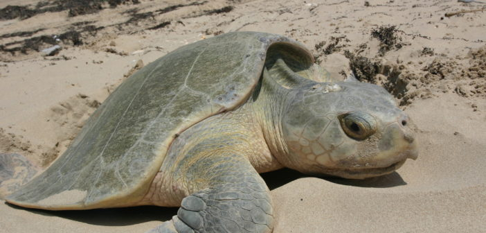 Sea Turtles Find Their Way Back Home Thanks to Mady