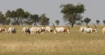 horned oryx grasing