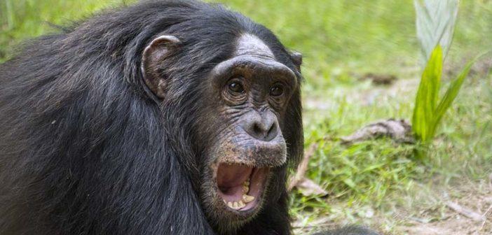 Chimpanzee Luc on Tchindzoulou Island
