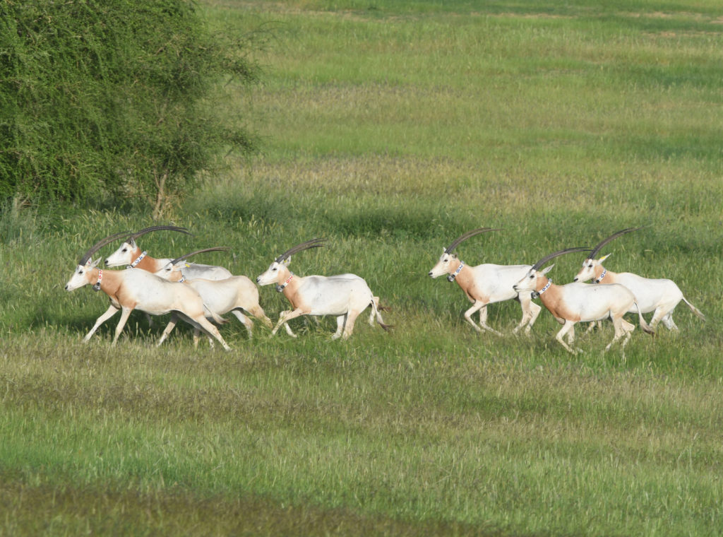 scimitar horned oryx2