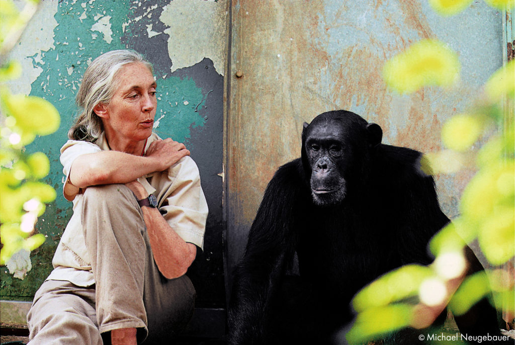 Dr. Jane Goodall with chimpanzee Freud at Gombe National Park in Tanzania.