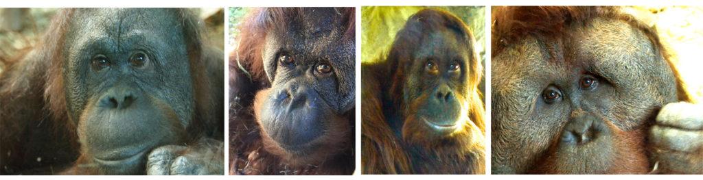 orangs four