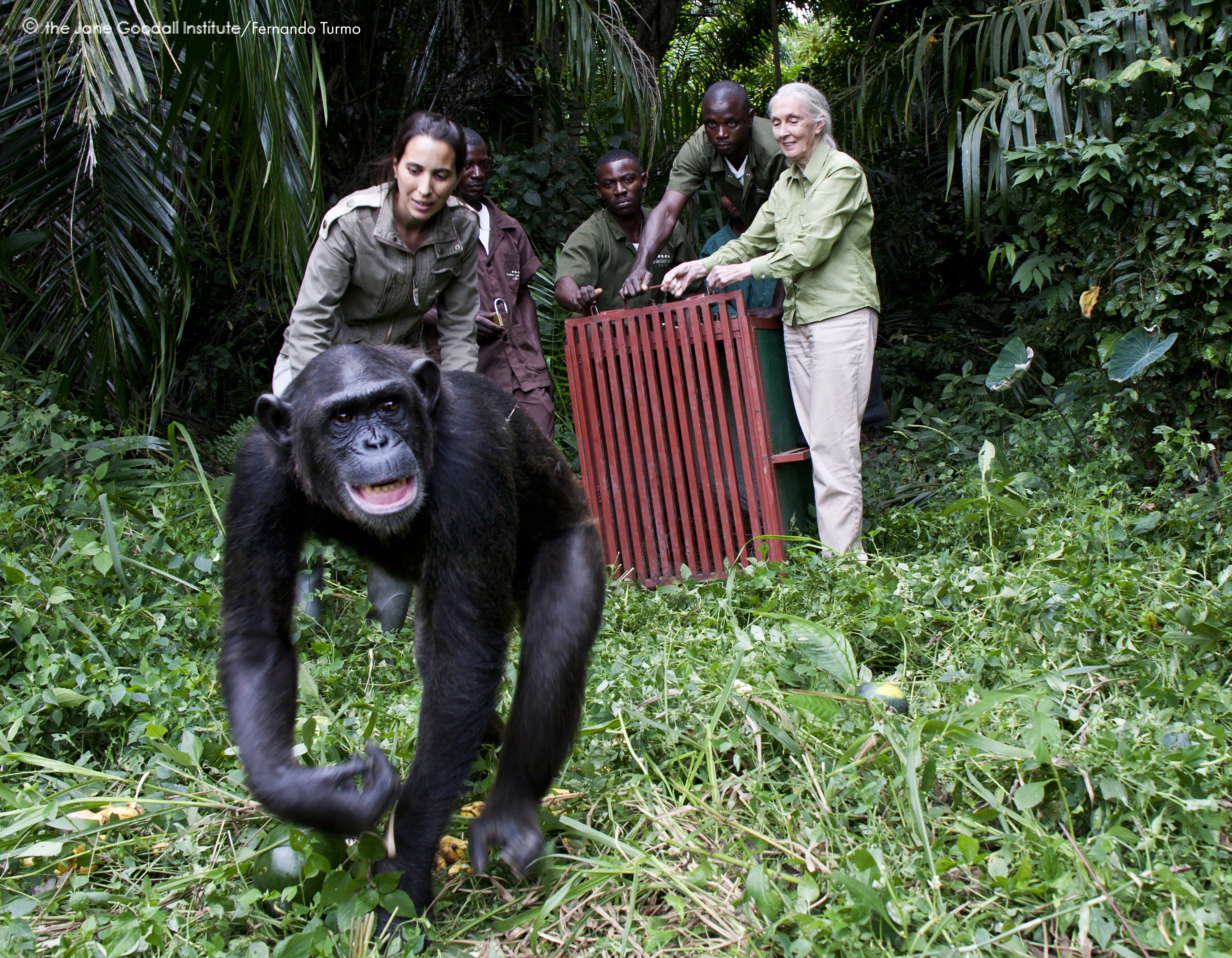 Jane Goodall and Rebeca Atencia release orphan chimpanzee Wounda on Tchindzoulou Island