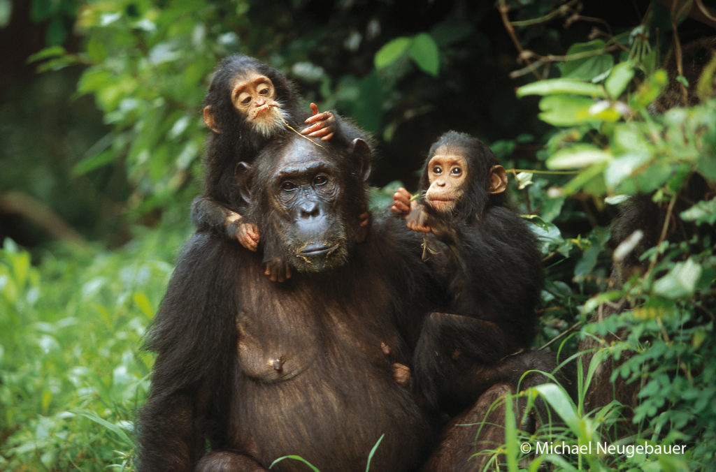 Twins Golden and Glitter  with their mother Gremlin at Gombe National Park in Tanzania.  The twins were the first pair to survive past infancy at Gombe.