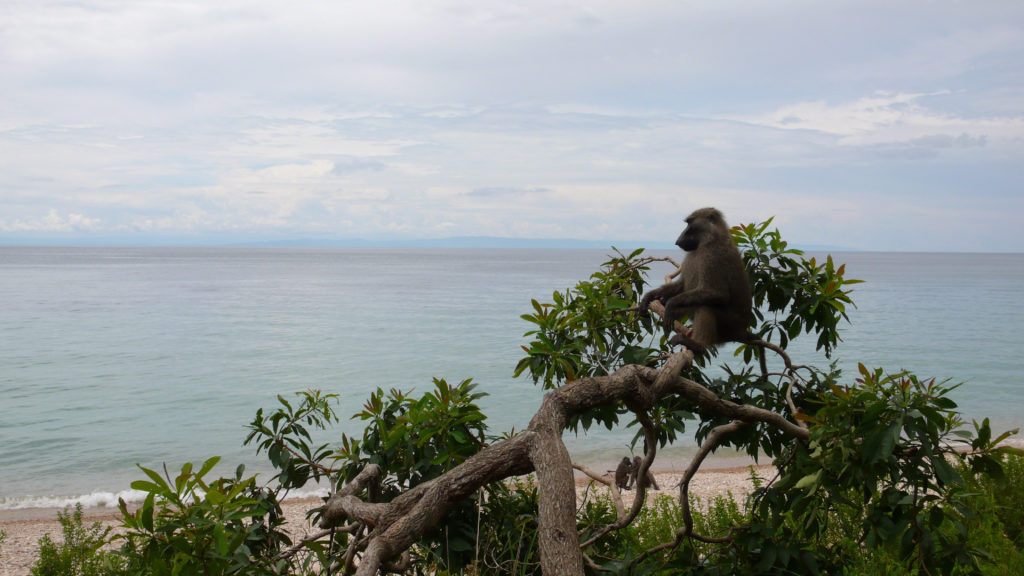 Baboon sitting in a tree in Gombe National Park. Jane's Journey filming