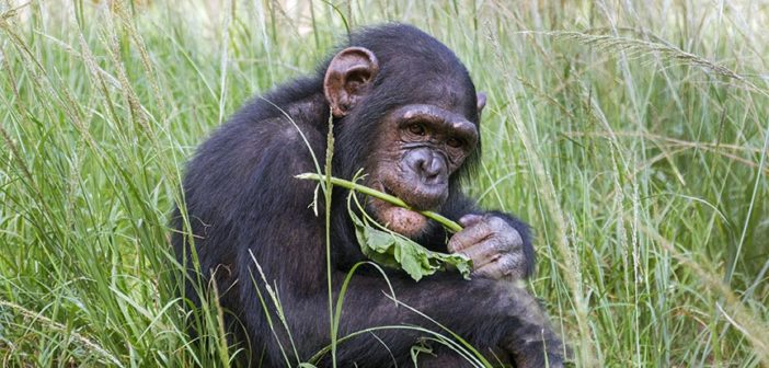 Orphan Mbebo tries new foods at the JGI Tchimpounga Chimpanzee Rehabilitation Center