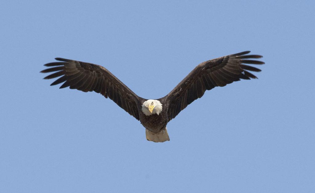 Bald_Eagle_(8601174760)