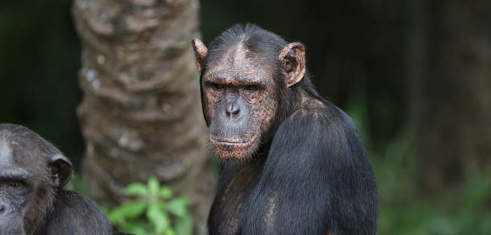 Chimp of the month Binda