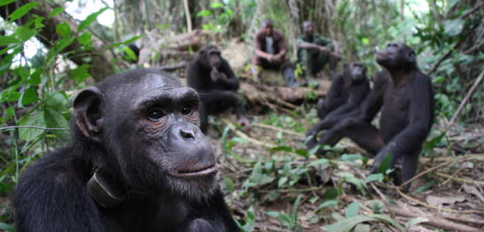 Rescued Chimpanzees Find a Forest Home Together, At Last