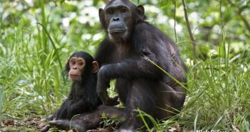 Gaia and her son Google in Gombe National Park, Tanzania