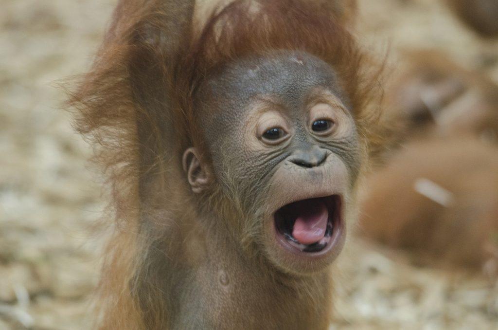 baby-orangutan-1056338_1280