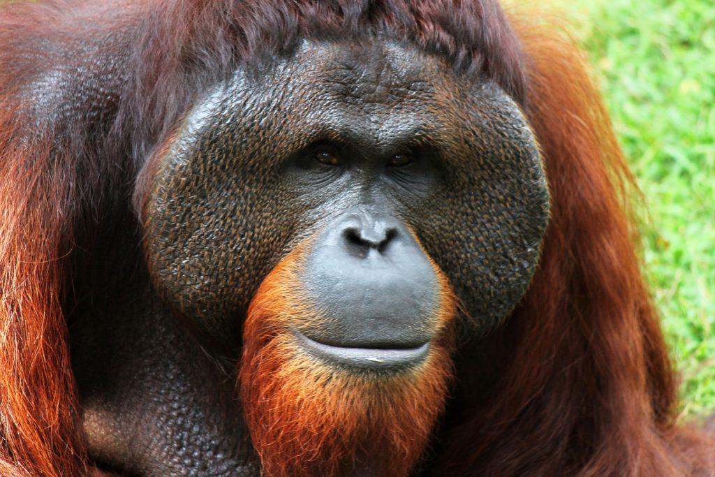 orangutan-250664_1920