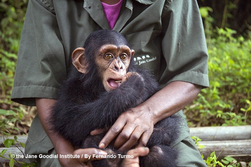 George, new arrival at the JGI Tchimpounga Chimpanzee Rehabilitation Center, November 2017.