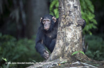 Jack. Chimp of the month