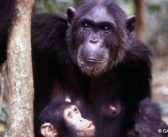 Do Chimpanzees Know How to Say or Show 'Thank You'?
